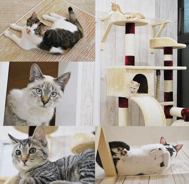 譲渡型猫カフェ「にゃんくる 蒲田店」の猫たち