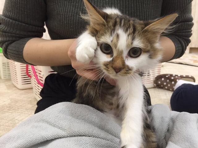 譲渡型猫カフェ「にゃんくる 蒲田店」の猫スタッフ