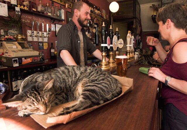 イングランドのパブのカウンターで寝ている猫