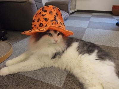 ハロウィンハットがお似合いな猫