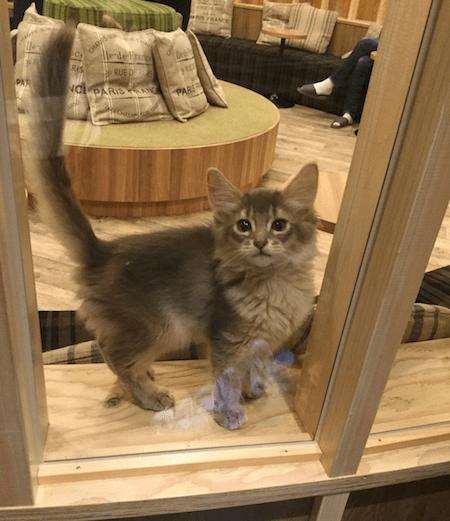 猫カフェMoCHA(モカ)秋葉原店にいる猫、ソマリ
