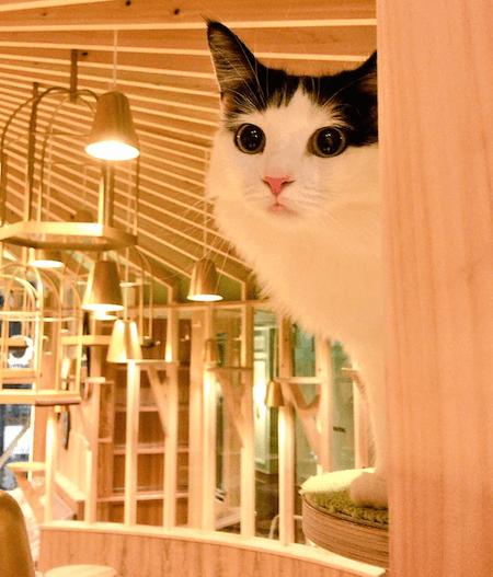 猫カフェMoCHA(モカ)秋葉原店で監視中の猫