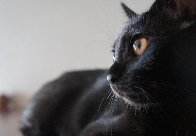 来月発売のムック本「黒猫マニアックス」、黒猫の写真を募集中