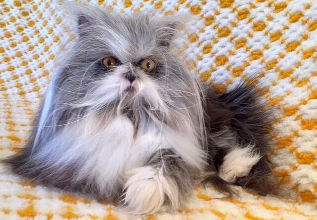 ヨークシャテリアのような犬に似ているペルシャ猫の「アチョム(Atchoum)」