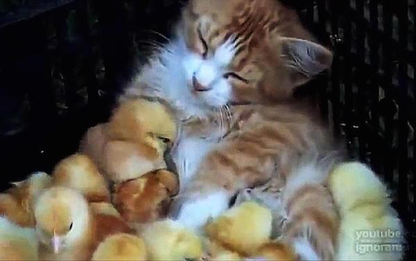 ヒヨコに囲まれる猫の写真