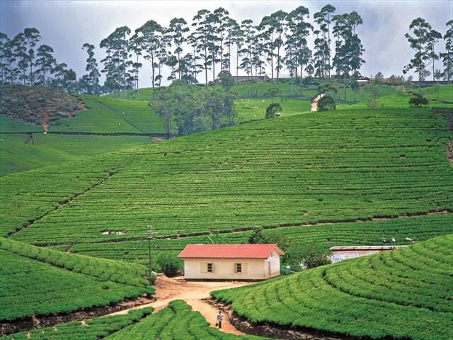 スリランカの高原に広がる紅茶畑