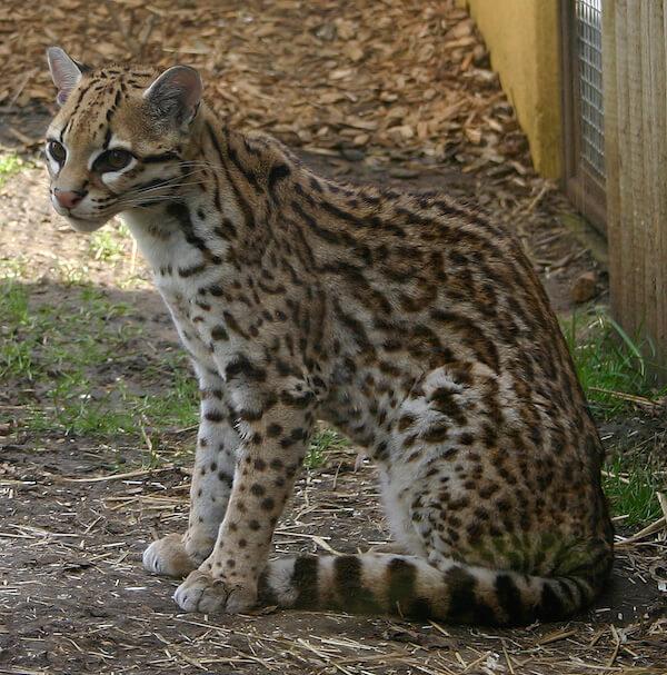 絶滅危惧種に指定されている猫「オセロット(Ocelot)」の写真