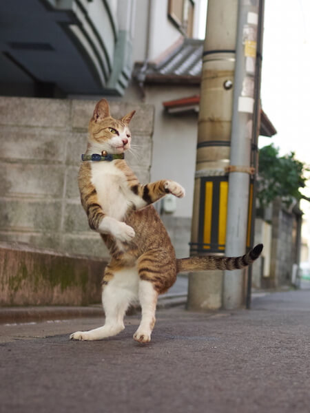 防御の構えをとる猫(ネコ写真集「のら猫拳」)
