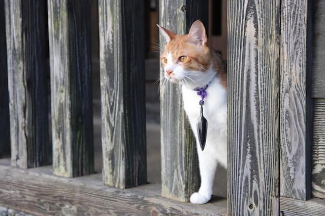 猫忍の主役猫「金時」の忍者写真3