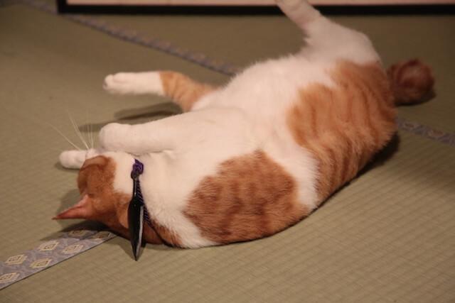 猫忍の主役猫「金時」の忍者写真5