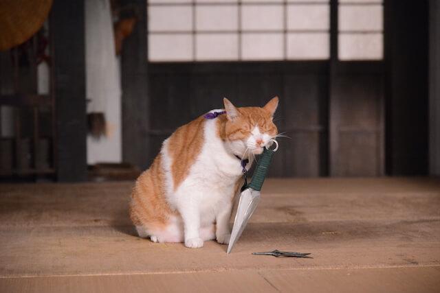 猫忍の主役猫「金時」の忍者写真7