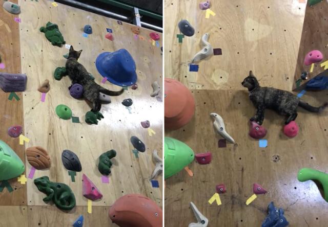 【猫動画】狭い足場を登ってボルタリングする猫が現れる