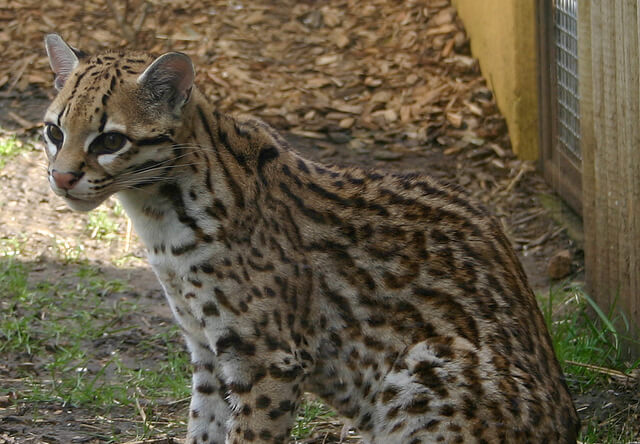 ヒョウのような美しい猫「オセロット」の巣が20年ぶりに発見