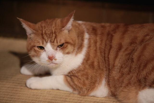 猫忍の主役猫「金時」の忍者写真8