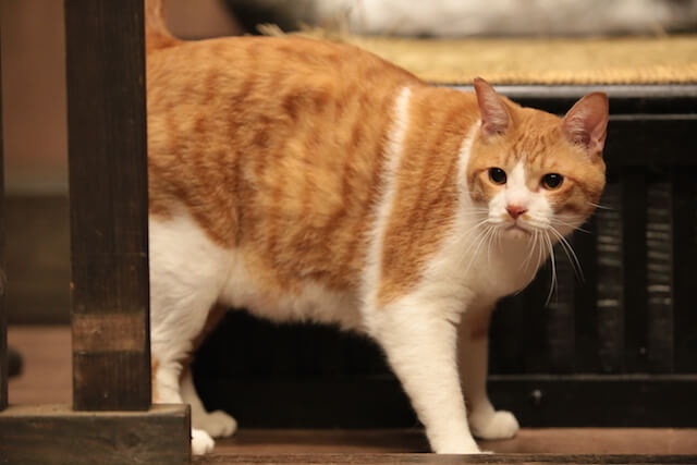 猫忍の主役猫「金時」の忍者写真9