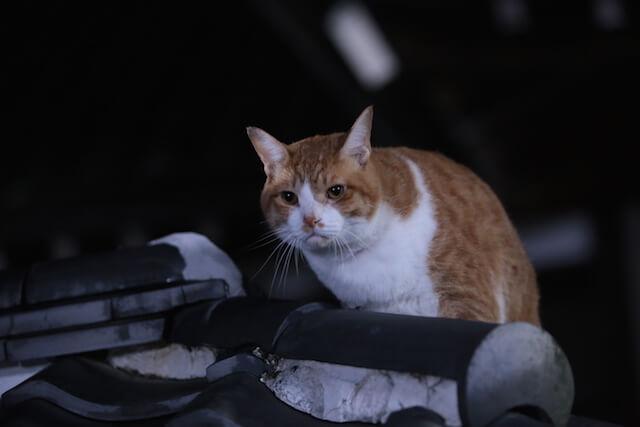 猫忍の主役猫「金時」の忍者写真10