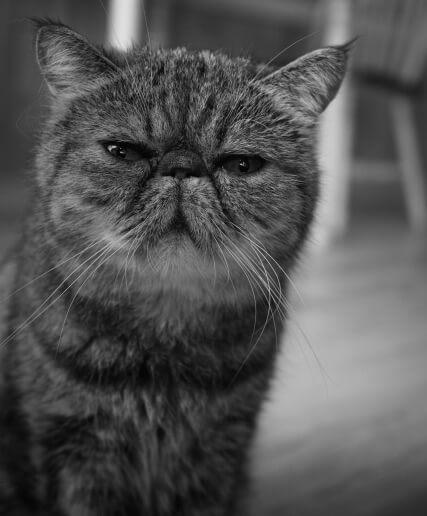 好きな猫種ランキング2016の13位はエキゾチックショートヘア