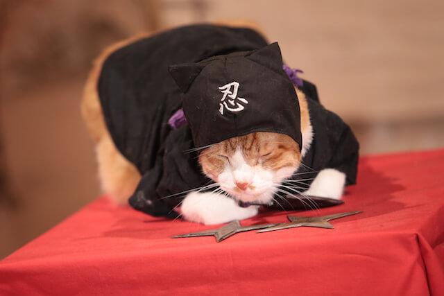 猫忍の主役猫、金時の忍者姿