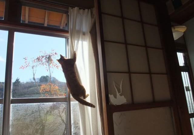 カーテンを登る猫の写真