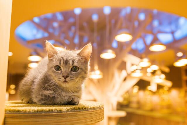 猫カフェ「MoCHA(モカ)」心斎橋店の猫写真1
