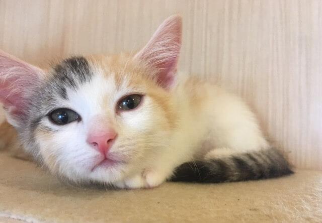 三毛猫の子猫の写真