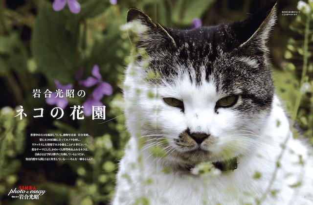雑誌「SINRA(シンラ)」3月号の巻頭グラビア、岩合光昭 ネコの花園
