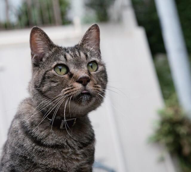 「ご近所猫の写真集 ねこ舌」わずかに舌を覗かせる猫
