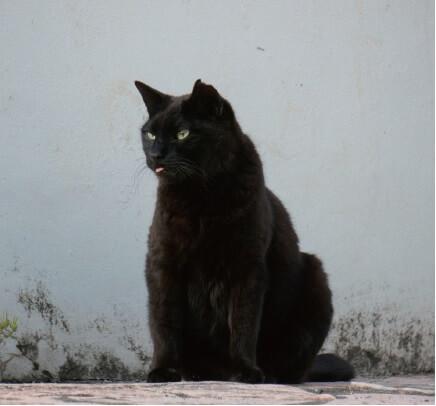 「ご近所猫の写真集 ねこ舌」ピンクの舌を出す黒猫