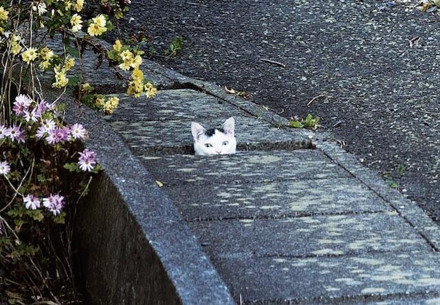 猫の島、石巻・田代島の猫