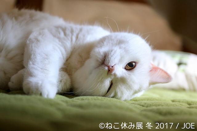 美人白猫「うらちゃん」の新作写真
