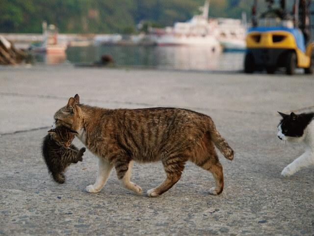 「ネコライオン」、子供を咥えて運ぶ猫の写真