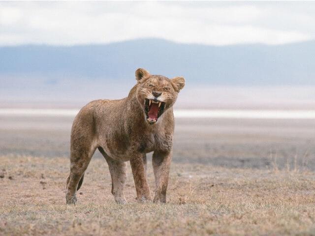 「ネコライオン」、あくびをしているライオンの写真