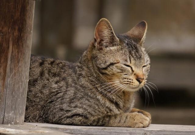 猫の柄ランキングで一位になったキジトラ