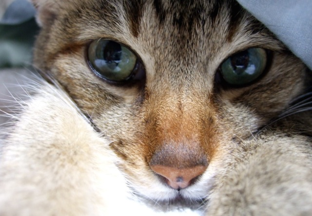 布団から顔を覗かせる猫の写真