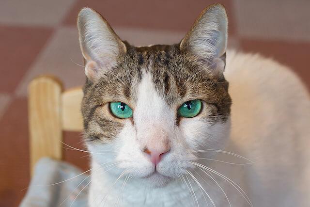 大宮の猫カフェ猫家にいる、グリーンアイの猫・小鉄
