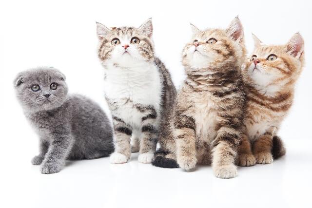 猫の種類ランキングイメージ