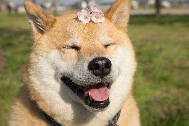 Instagramで大人気の柴犬まるくん