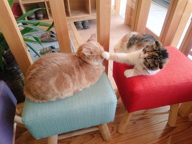 猫カフェごろーにゃのネコ店長、まんちゃん