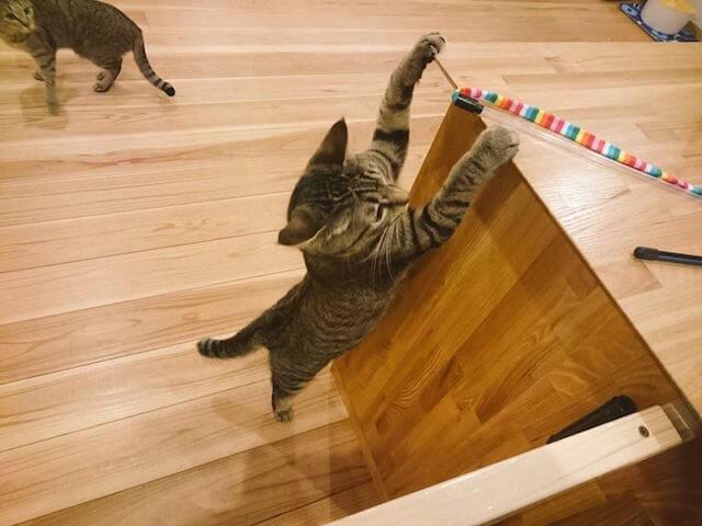 猫カフェ「ごろーにゃ」で遊ぶ猫