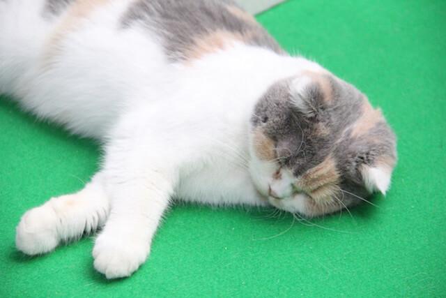 わんにゃんドームに登場した猫