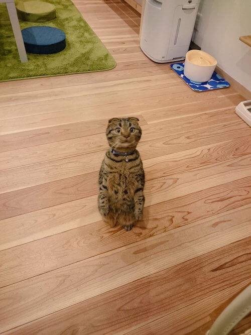 スコティッシュフォールドのオス猫 どんちゃん