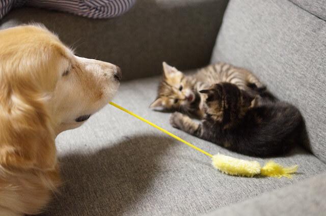 「わさびちゃんちのぽんちゃん保育園」の掲載写真、猫じゃらしで遊んであげるぽんちゃん