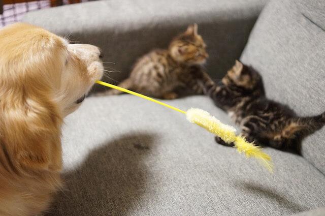 「わさびちゃんちのぽんちゃん保育園」の掲載写真、猫じゃらしで遊んでもらえないぽんちゃん