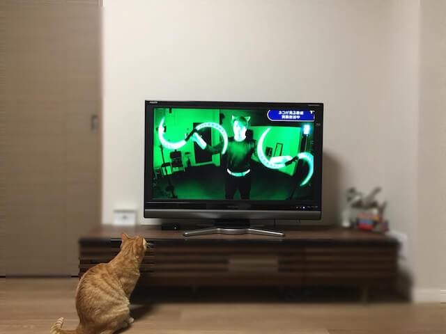 NHKの「ネコがみるみるテレビ」を見ている茶トラ猫