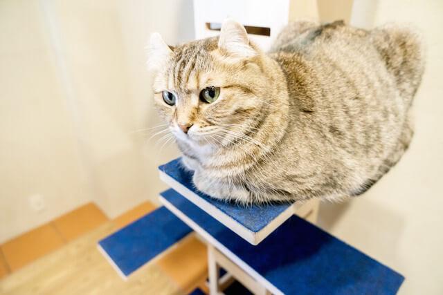 キャットタワー「necobacoT」のインディゴカラー(藍色)のステップで香箱座りする猫