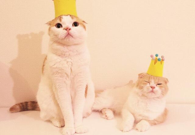Instagramで4万人のフォロワーを持つ人気猫スコティッシュフォールドの「のんた」と「ぼー」