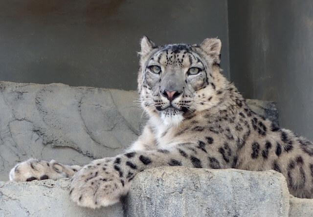 幻の動物、東山動植物園のユキヒョウ