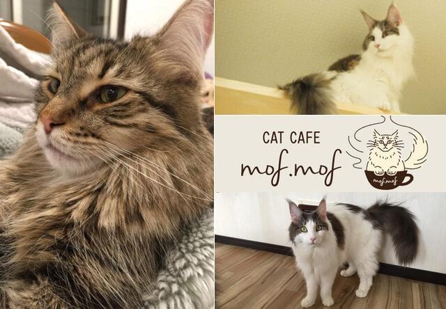 メインクーン専門の猫カフェ mof.mof(モフモフ)