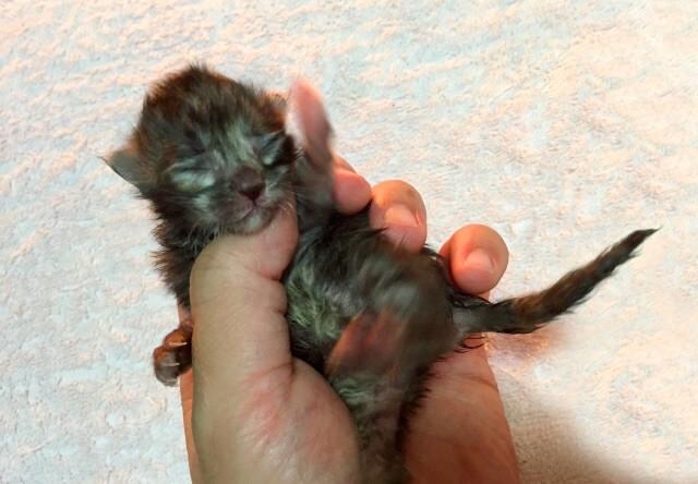 生後間もない猫の赤ちゃん
