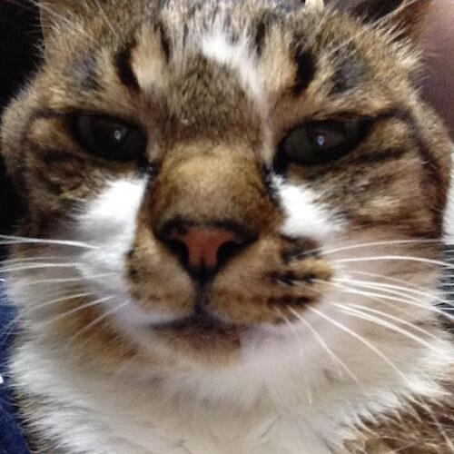 よませ温泉 リゾートイン・ケルンの看板猫、トラ